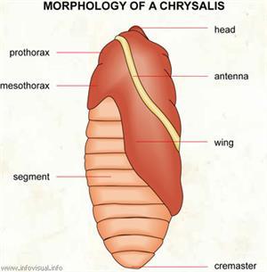 Chrysalis  (Visual Dictionary)