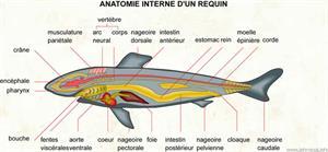 Anatomie interne d'un requin (Dictionnaire Visuel)