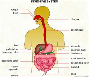 Digestive system  (Visual Dictionary)