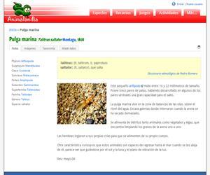 Pulga marina (Talitrus saltator)