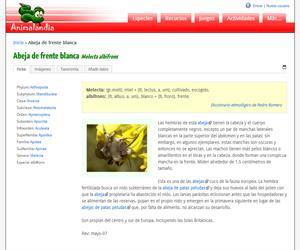 Abeja de frente blanca (Melecta albifrons)