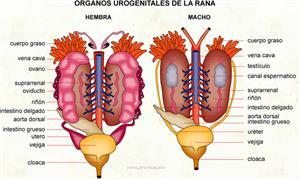 Organos urogenitales de la rana (Diccionario visual)