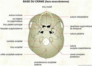 Base du crâne (face exocrânienne) (Dictionnaire Visuel)