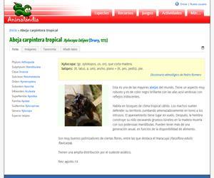Abeja carpintera asiática (Xylocopa laticeps)