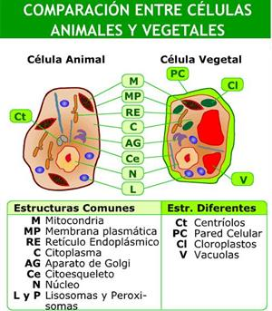 Células animales y vegetales (Educarchile)