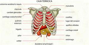 Caja torácica (Diccionario visual)