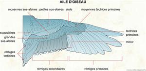 Aile d'oiseau (Dictionnaire Visuel)