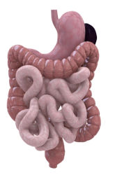 Digestive Enzymatic Activity and Lipid Digestion