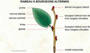 Rameau à bourgeons alternes (Dictionnaire Visuel)
