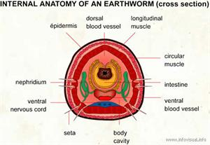 Earthworm  (Visual Dictionary)