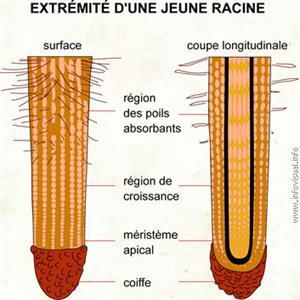 Racine (Dictionnaire Visuel)