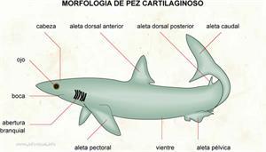 Cartilaginoso (Diccionario visual)