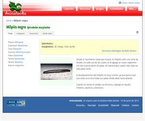 Milpiés negro (Spirobolus marginatus)