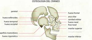 Osteología del cráneo (Diccionario visual)
