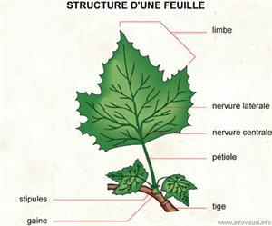 Feuille (Dictionnaire Visuel)