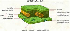 Corte de una hoja (Diccionario visual)