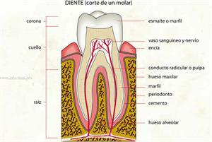 Diente (Diccionario visual)