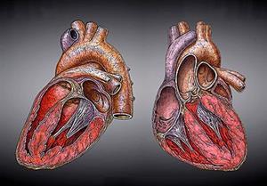 Corazón humano por Fco. Javier Flores Méndez (educarm)