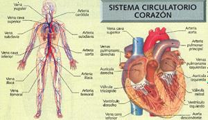 Aparato circulatorio y excretor