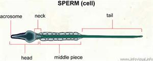 Sperm  (Visual Dictionary)