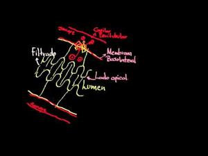 Transporte activo secundario en la nefrona (Khan Academy Español)