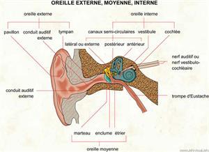 Oreille (Dictionnaire Visuel)