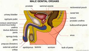 Male genital organs  (Visual Dictionary)