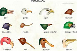 Picos de aves (Diccionario visual)