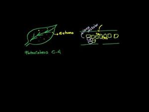 Fotonsíntesis c4 (Khan Academy Español)