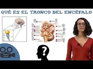 Qué es el tronco del encéfalo