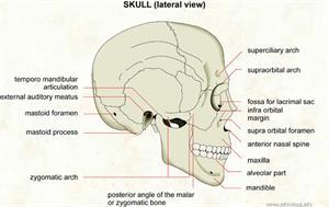 Skull (lateral view)  (Visual Dictionary)