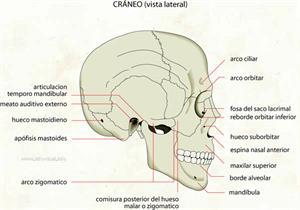 Cráneo (vista lateral) (Diccionario visual)