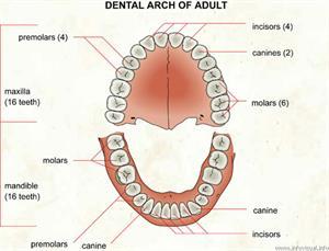 Dental arch  (Visual Dictionary)