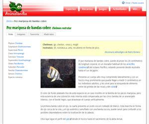 Pez mariposa de bandas cobre (Chelmon rostratus)