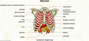 Ribcage  (Visual Dictionary)
