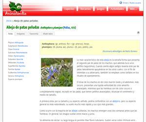 Abeja de patas peludas (Anthophora plumipes)