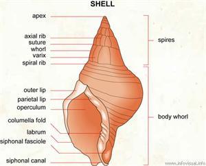Shell  (Visual Dictionary)