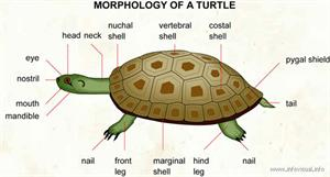 Turtle  (Visual Dictionary)