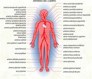 Arterias (Diccionario visual)