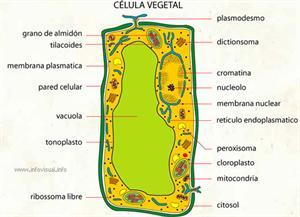 Célula vegetal (Diccionario visual)