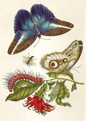 Ilustraciones de insectos y mariposas de Maria Sibylla Merian (Metamorphosis Insectorum Surinamensium)