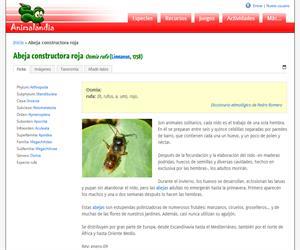 Abeja constructora roja (Osmia rufa )