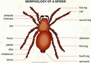 Spider  (Visual Dictionary)