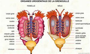 Organes urogénitaux de la grenouille (Dictionnaire Visuel)