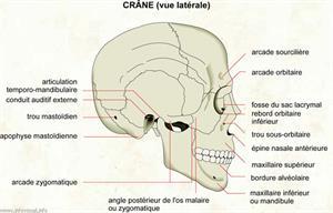 Crâne (vue latérale) (Dictionnaire Visuel)