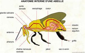 Anatomie interne d'une abeille (Dictionnaire Visuel)