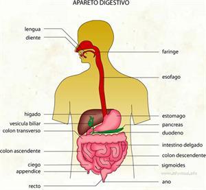 Apareto digestivo (Diccionario visual)