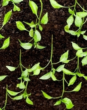 Upside Down Plant