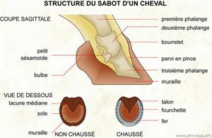 Structure du sabot d'un cheval (Dictionnaire Visuel)