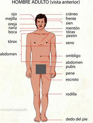 Hombre adulto (Diccionario visual)